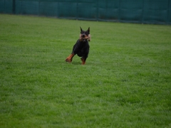 08 - Ares Negro Von Hermann - IPO 1, part B 72, C 79, 2-nd place dobermann at B and C